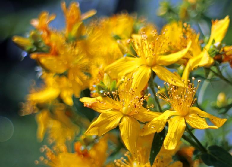 Čarovné byliny letního slunovratu
