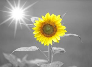 sunflower-972115_1280