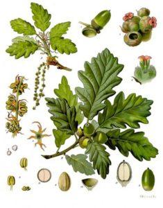 acorns-379951_1280