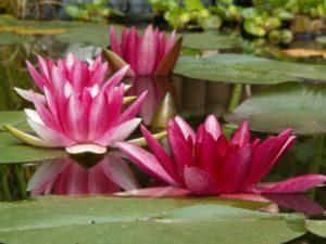 aquatic-plant-182635_1280