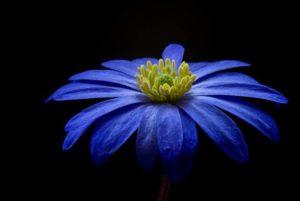 balkan-anemone-56414_1280