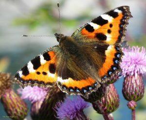 butterfly-19098_640