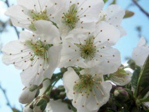 cherry-blossom-97736_1280