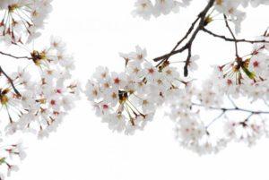cherry-flowers-94817_1280
