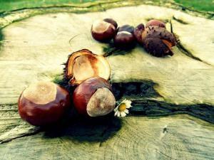 chestnut-472238_1280-300x225