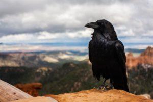 crow-828944_1280-1024x682
