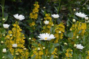 daisies-1129728_1920
