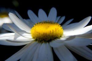 daisy-139891_1280