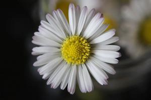 daisy-280903_1280