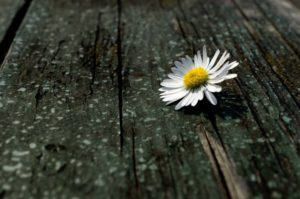 daisy-84632_1280