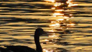 duck-168719_1280