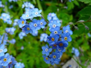 forget-me-not-3966_1280