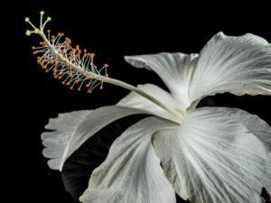 hibiscus-203881_1280