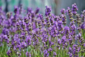 lavender-456009_1920