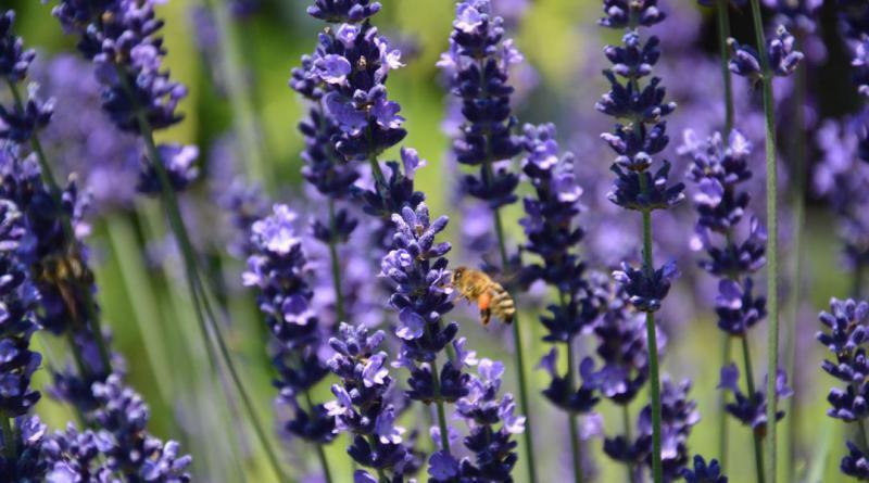 lavender-944193_1920