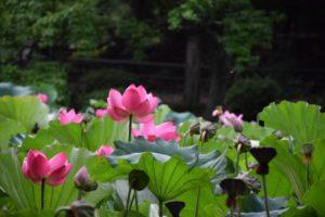 lotus-1109691_1920