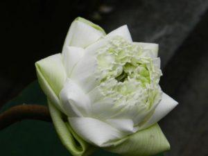 lotus-1225452_1920