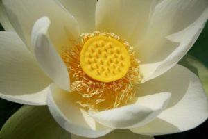 lotus-286261_1280
