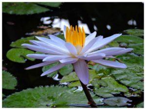 lotus-940924_1920
