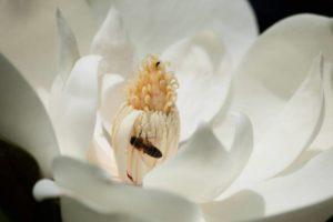 magnolia-419641_1280