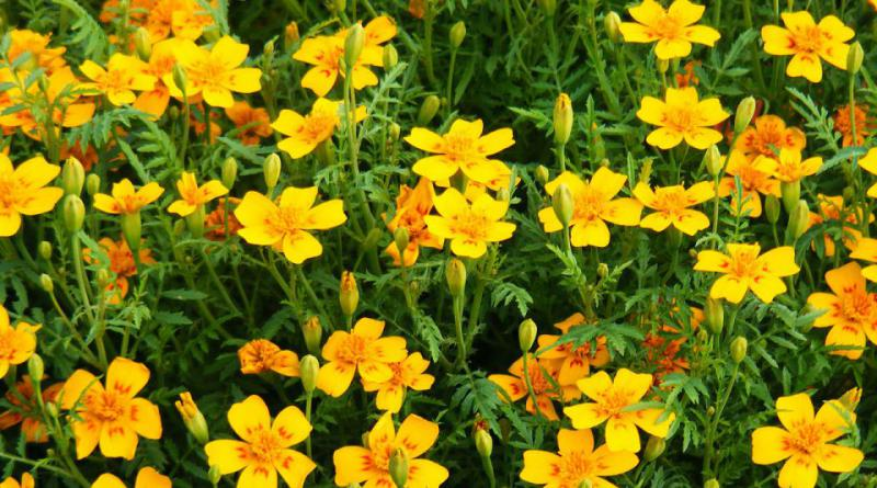 marigold-287582_1280