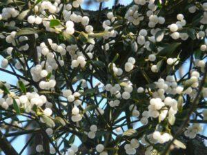 mistletoe-berries-16349_1280