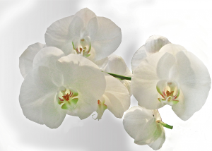 orchid-218260_1280-300x214