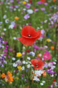 poppy-1232220_1920