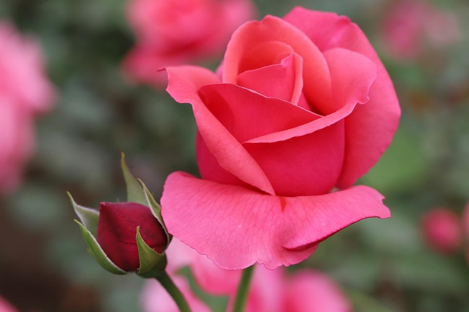 Růžové recepty - jedlé květy