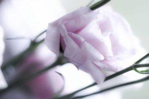 rose-456560_1280
