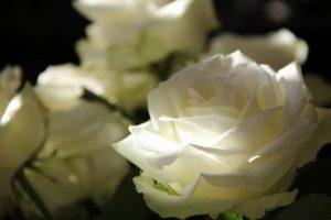 roses-108132_1280