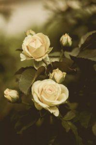 roses-428086_1280