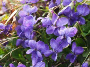 scented-violets-1077136_1920