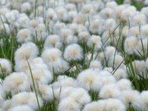 scheuchzers-cottongrass-175410_1280