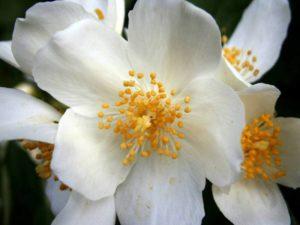 summer-jasmine-356026_1280