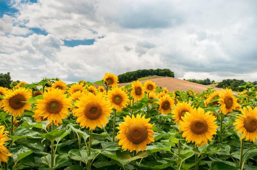 sunflowers-1091637_1920