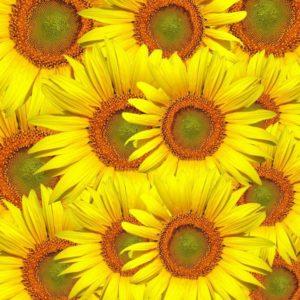 sunflowers-317031_1280