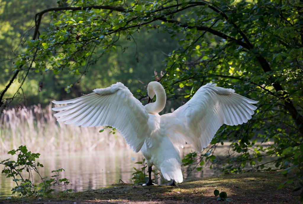 swan-341327_1280