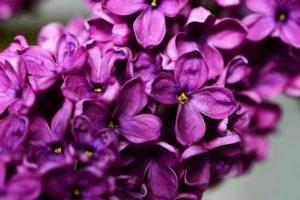 syringa-vulgaris-335104_1920