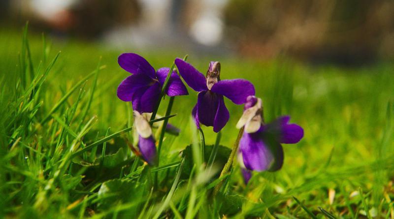 viola-silvestris-711412_1280