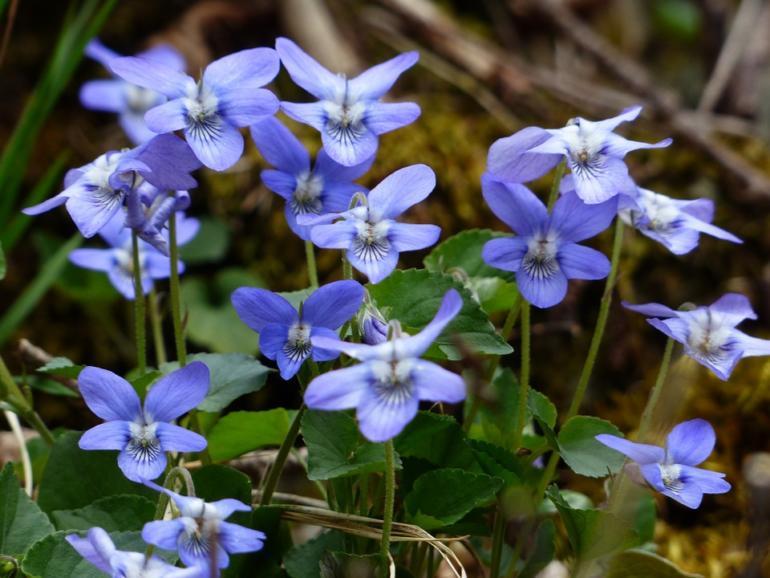 Kouzlo květů fialek a vonné esence