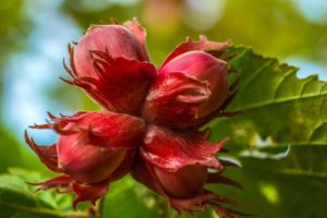walnut-851527_1280