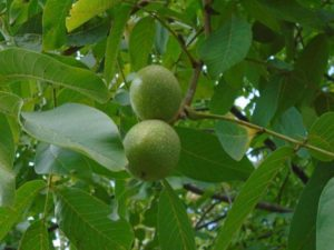 walnut-919707_1280