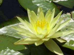water-lily-21127_1280