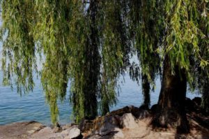 weeping-willow-383098_1280