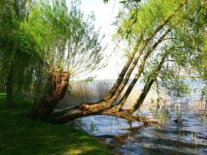 weeping-willow-533615_1280
