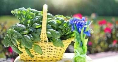 Královská bazalka - bylinka vášně a plodnosti