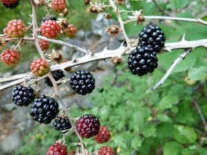 blackberries-263313_1280