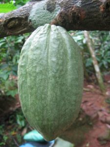 cocoa-bean-63177_1280