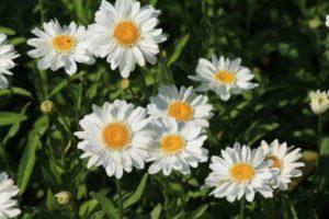 daisy-379761_1280